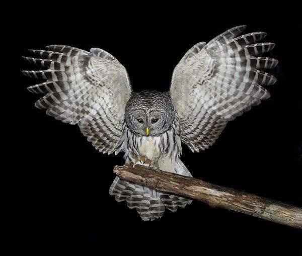 Minerva Owl In Flight