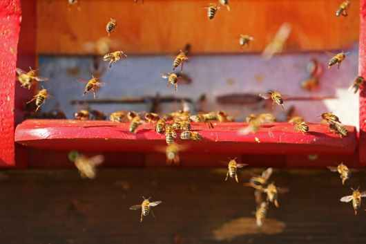 insect bees flying